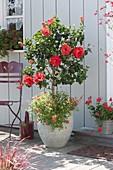 Hibiscus rosa-sinensis 'Porto' (Rosemary), stems