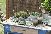 Freshly picked bush beans (Phaseolus) to preserve