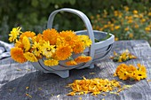 Basket of freshly picked calendula (marigold)