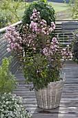 Lagerstroemia indica 'Rhapsody in Pink' (ruffle myrtle) in basket