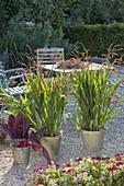 Crocosmia x crocosmiiflora 'Red King' and Mangold 'Feurio'