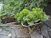 Romaine lettuce, romaine lettuce in old wheelbarrow