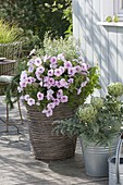 Petunia Famous 'White Rose Vein' with Calamintha