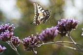 Verbena bonariensis with swallowtail butterfly