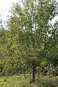 Apple tree (malus) in the nature garden