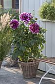 Dahlia 'Contraste' (Giant Dahlia) in basket
