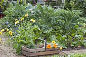 Vegetable bed with kale (Brassica), calendula (marigold)