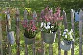 Daboecia (Irish bell-flower) and Viola cornuta (horned violet)