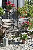 Pots with red and white Pelargonium, Pennisetum rubrum