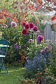 Early autumn in the small garden, Dahlia, Rhus typhina