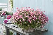 Diascia Breezee 'Plus pink' (twinspur) on side table