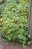 Tropaeolum majus (nasturtium) in the vegetable garden