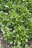 Spinach 'Matador'