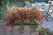 Begonia Summerwings 'Deep Red' in wooden box