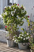 Mandevilla 'Rio White', 'Bicolor' (Dipladenia) in zinc planters
