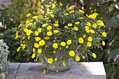 Calendula Powerdaisy 'Sunny' (marigold) in gray bucket