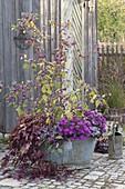 Autumn-planted zinc tub, Callicarpa, Aster