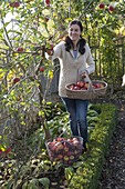 Woman picking apples (malus) in the farm garden, apple tree in the bed