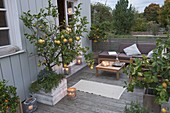 Citrus terrace with evening atmosphere, Citrus limon