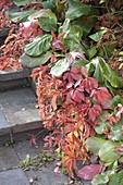 Parthenocissus in combination with Bergenia
