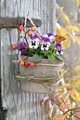 Viola cornuta hanged in terracotta pot on old door