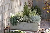 Gray-white planted wooden box with Calluna 'Alicia'