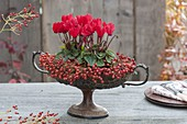 Old fruit bowl with foot planted with Cyclamen, Rosa
