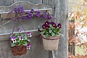 Viola cornuta (horn violet) in terracotta pot and basket