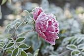 Frozen Rose Blossom Pink (Rose)
