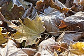 Hoarfrost on autumn leaves, yellow and brown leaves of Acer