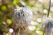 Seed of Clematis (clematis) with fine drops of water