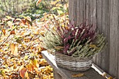 Small handle basket with Calluna Twin-Girls 'Aphrodite' red 'Helena' white