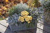 Cineraria maritima, chrysanthemum