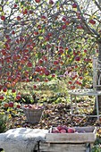 Apple tree, with many fruits in late autumn