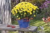 Chrysanthemum (autumn chrysanthemum) with malus (ornamental apples)