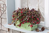 Old drawer at the window planted with Gaultheria procumbens