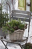 Basket with abies and cones on chair, secateurs