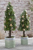 Bound Christmas trees out of Abies