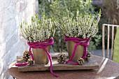 Calluna vulgaris Garden Girls 'Alisa' with pink woolen cord