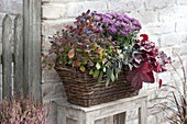 Autumn-planted basket, chrysanthemum