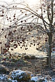 Winter garden with bench under apple tree (Malus)