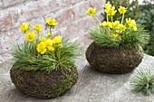 Eranthis hyemalis (winter aconite) in ball pots of moss