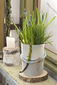 Muscari armeniacum on wooden disc in front of window