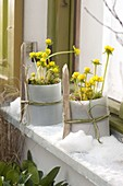 Eranthis hyemalis (winter aconite) in the snow in front of window
