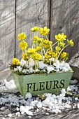 Eranthis hyemalis (winter aconite) in wooden box with snow
