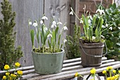 Pots with Galanthus nivalis (snowdrop) on sledge