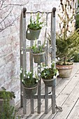 Galanthus nivalis hanged on sledges in tin pots