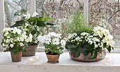 White houseplants in copper containers by the window