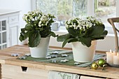 Kalanchoe 'Swan', 'Ewbank' filled on sideboard