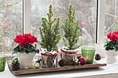 Cyclamen and Picea glauca 'Conica'